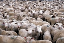 Herd Mentality and Intercultural Awareness